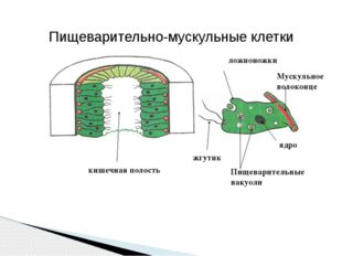 ядро Пищеварительные вакуоли жгутик ложноножки Мускульное волоконце кишечная