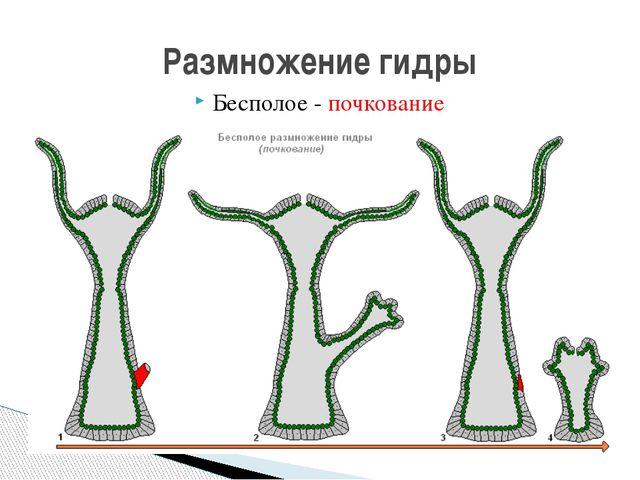 Бесполое - почкование Размножение гидры