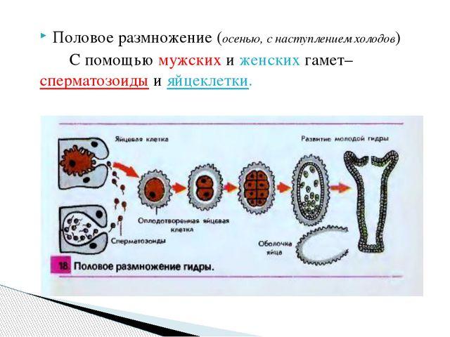 Половое размножение (осенью, с наступлением холодов) С помощью мужских и женс...