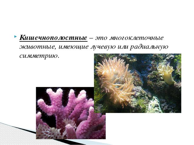 Кишечнополостные – это многоклеточные животные, имеющие лучевую или радиальну...