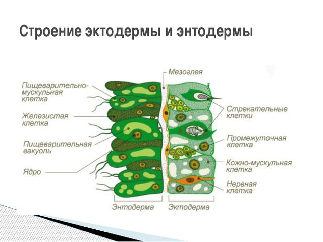 Строение эктодермы и энтодермы