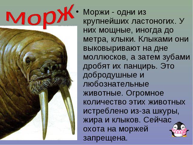 Моржи - одни из крупнейших ластоногих. У них мощные, иногда до метра, клыки....