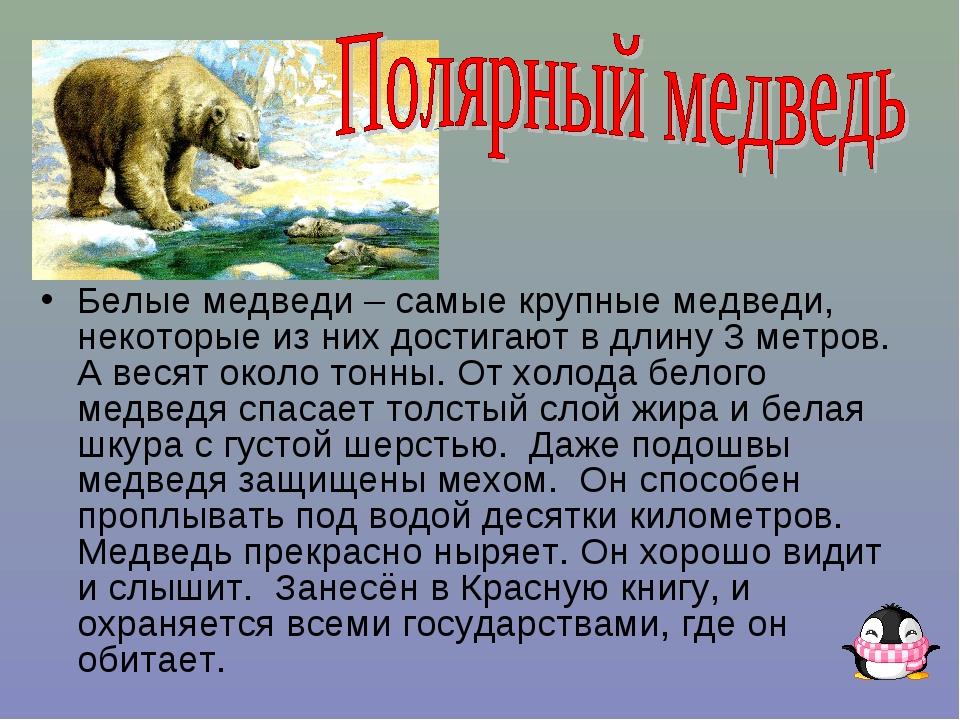 Белые медведи – самые крупные медведи, некоторые из них достигают в длину 3 м...