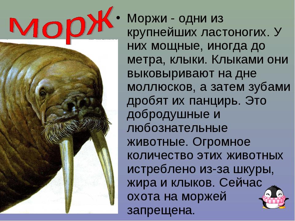 В арктике обитают и другие интересные животные - моржи