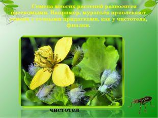 Семена многих растений разносятся насекомыми. Например, муравьёв привлекают