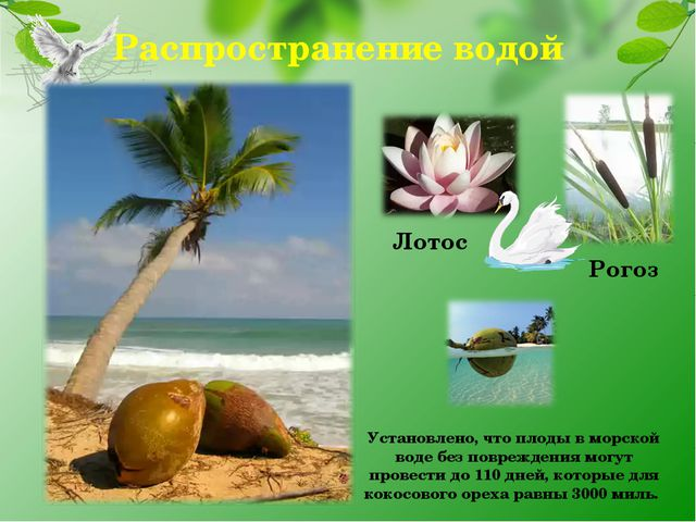 Распространение водой Лотос Рогоз Установлено, что плоды в морской воде без п...