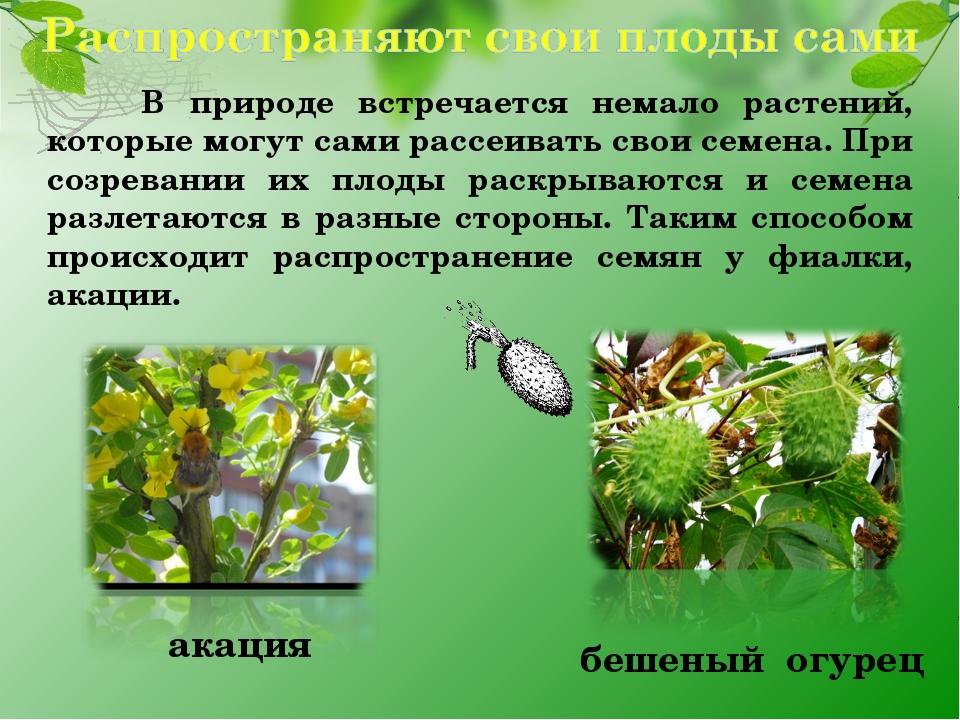 В природе встречается немало растений, которые могут сами рассеивать свои се...