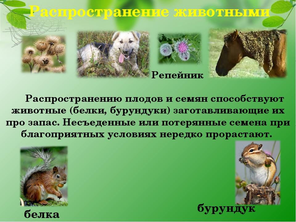Распространение животными Репейник белка бурундук Распространению плодов и се...