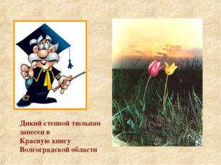 Дикий степной тюльпан занесен в Красную книгу Волгоградской области