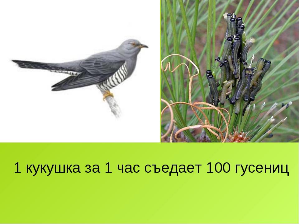 1 кукушка за 1 час съедает 100 гусениц