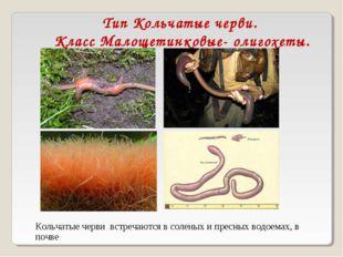 Тип Кольчатые черви. Класс Малощетинковые- олигохеты. Кольчатые черви встреча