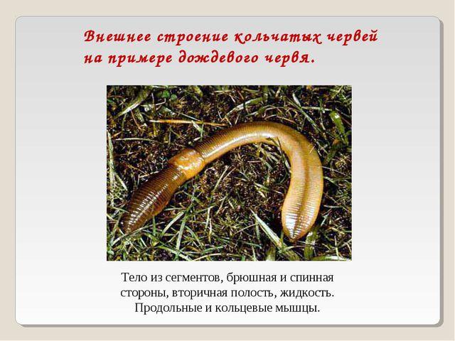 Внешнее строение кольчатых червей на примере дождевого червя. Тело из сегмент...