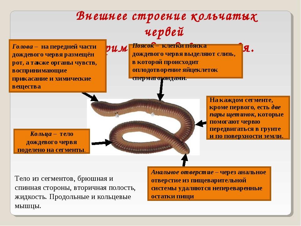 Внешнее строение кольчатых червей на примере дождевого червя. Голова – на пер...
