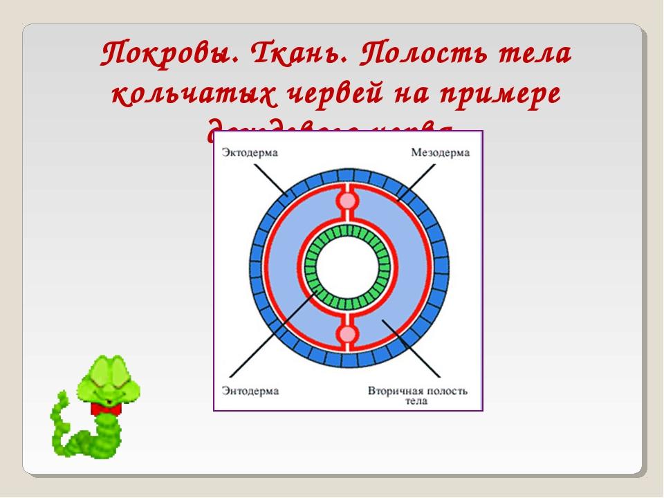 Покровы. Ткань. Полость тела кольчатых червей на примере дождевого червя.