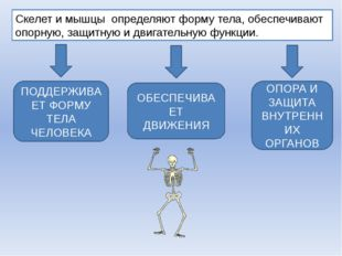 Скелет и мышцы определяют форму тела, обеспечивают опорную, защитную и двигат