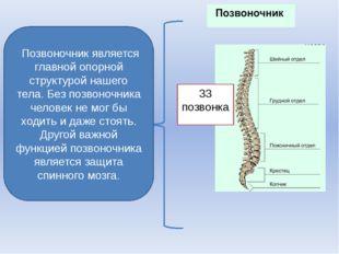 Позвоночник является главной опорной структурой нашего тела. Без позвоночни