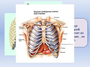 Лёгкие и сердце окружены грудной клеткой. Она состоит из 12 пар очень крепки