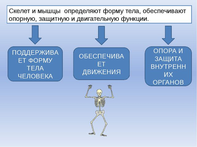 Скелет и мышцы определяют форму тела, обеспечивают опорную, защитную и двигат...