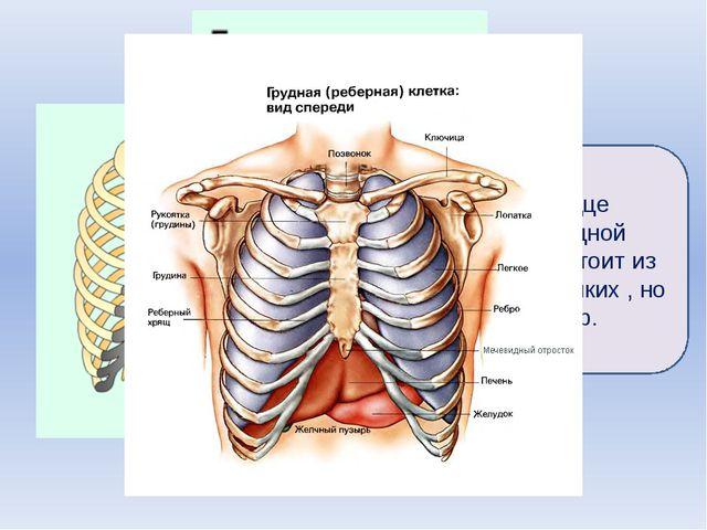 Лёгкие и сердце окружены грудной клеткой. Она состоит из 12 пар очень крепки...