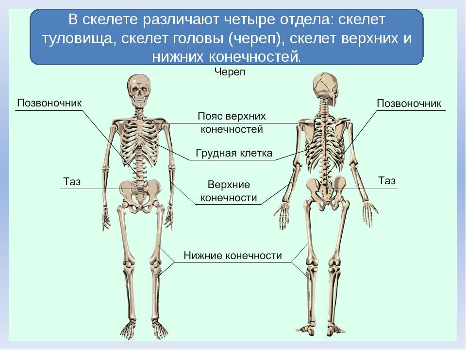 В скелете различают четыре отдела: скелет туловища, скелет головы (череп), ск...
