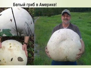 Белый гриб в Америке!