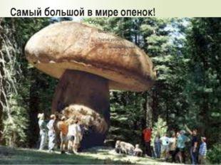 Самый большой в мире опенок!