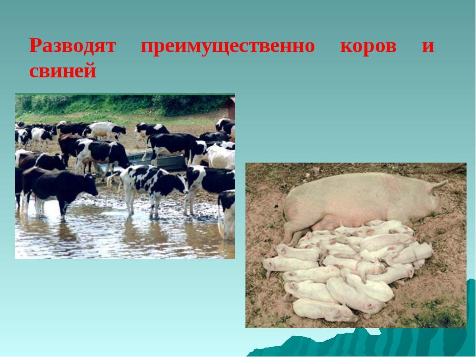Разводят преимущественно коров и свиней