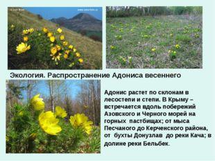 Экология. Распространение Адониса весеннего Адонис растет по склонам в лесост