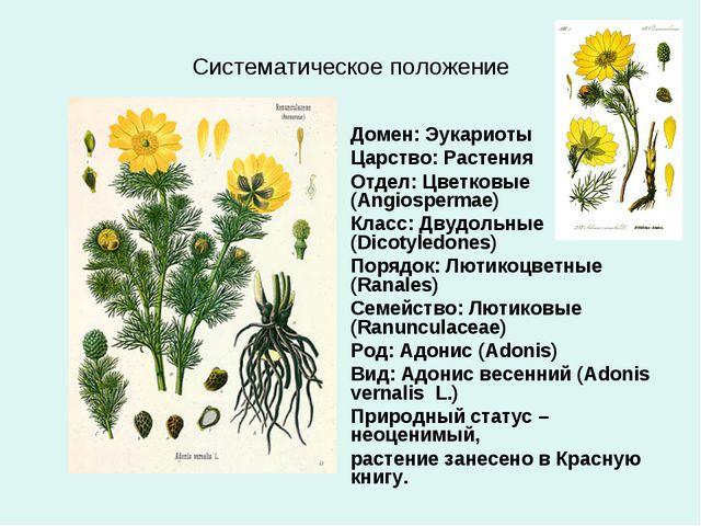 Систематическое положение Домен: Эукариоты Царство: Растения Отдел: Цветковые...