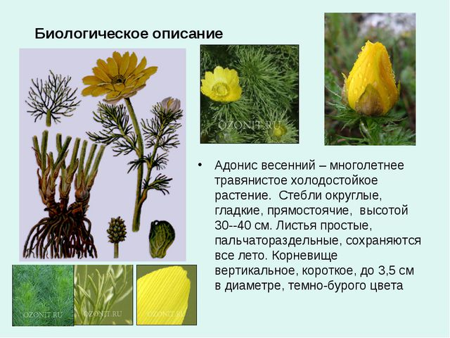 Биологическое описание Адонис весенний – многолетнее травянистое холодостойко...