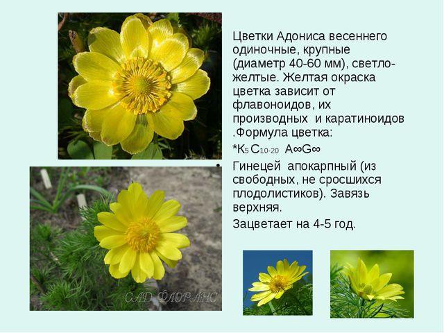 Цветки Адониса весеннего одиночные, крупные (диаметр 40-60 мм), светло-желтые...