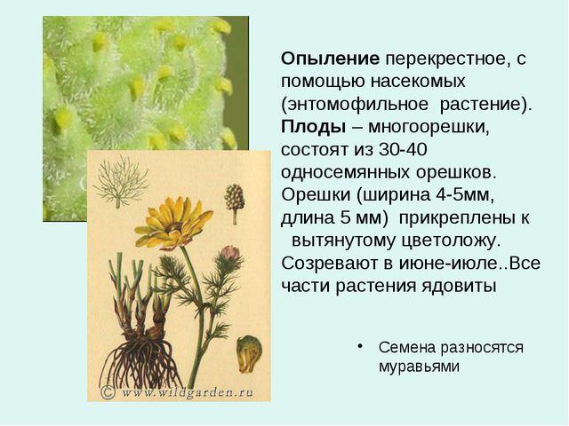 Опыление перекрестное, с помощью насекомых (энтомофильное растение). Плоды –...