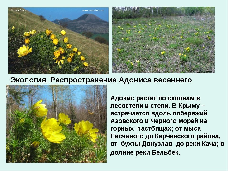 Экология. Распространение Адониса весеннего Адонис растет по склонам в лесост...