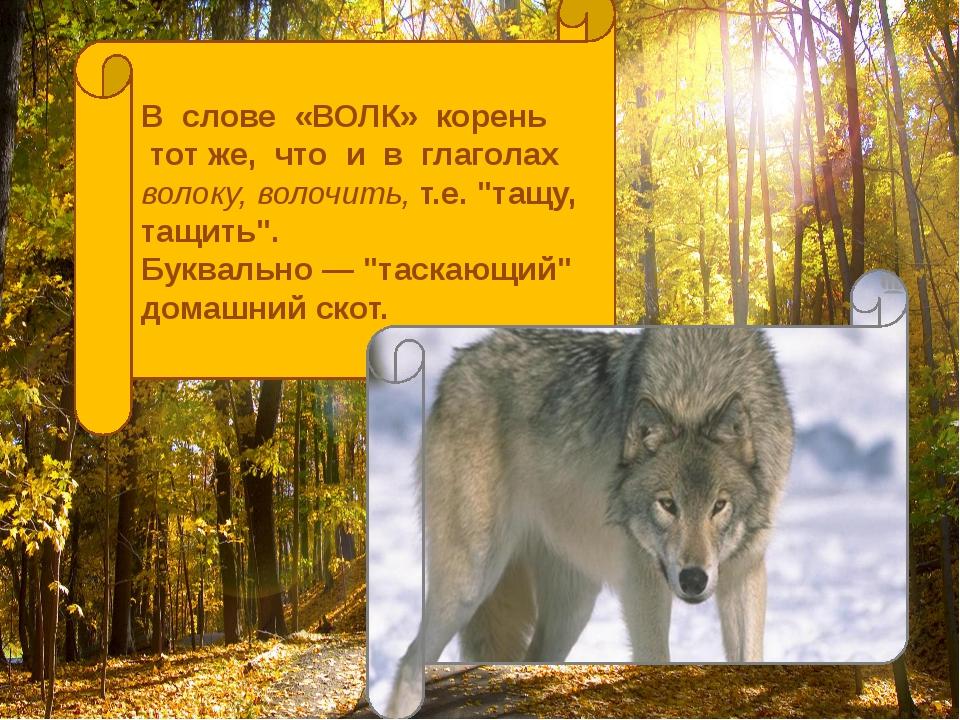 """В слове «ВОЛК» корень тот же, что и в глаголах волоку, волочить, т.е. """"тащу,..."""