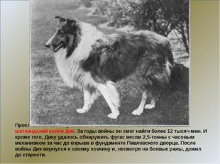 Прославился своим участием в Великой Отечественной войне и шотландский колли