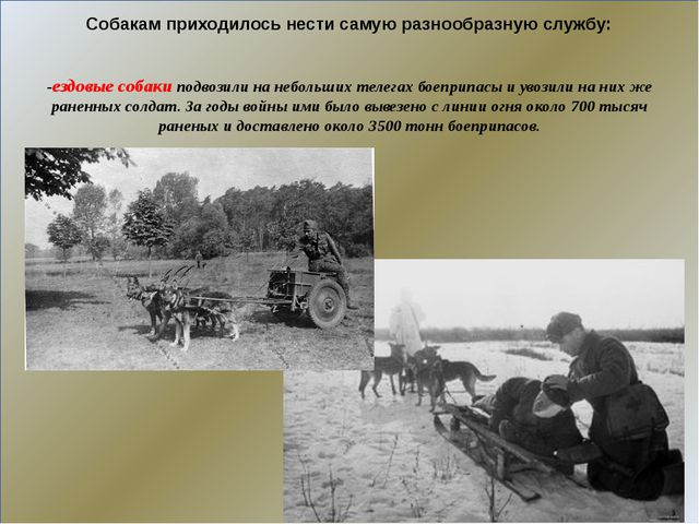 -ездовые собаки подвозили на небольших телегах боеприпасы и увозили на них ж...