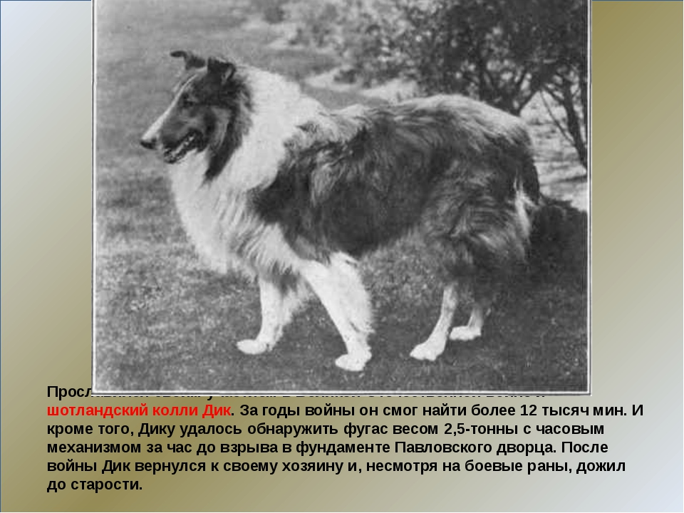 Прославился своим участием в Великой Отечественной войне и шотландский колли...