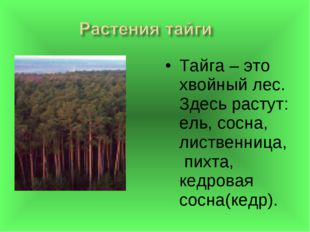 Тайга – это хвойный лес. Здесь растут: ель, сосна, лиственница, пихта, кедров