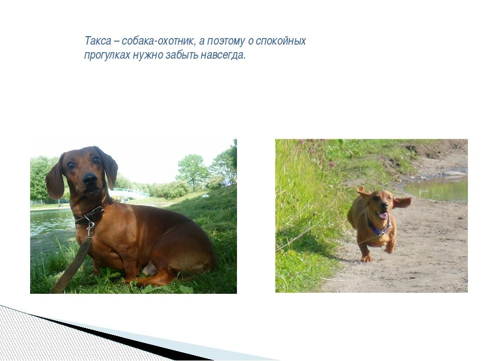 Такса – собака-охотник, а поэтому о спокойных прогулках нужно забыть навсегда.