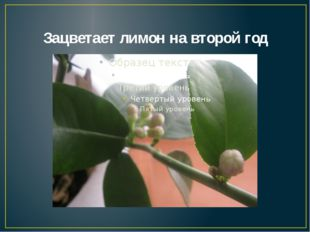 Зацветает лимон на второй год