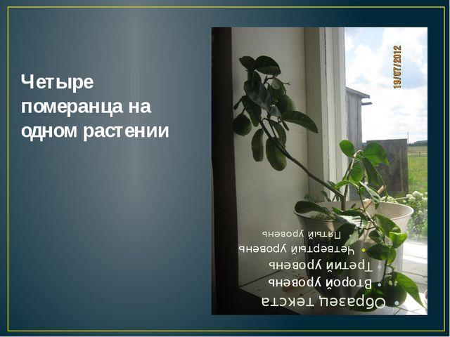 Четыре померанца на одном растении
