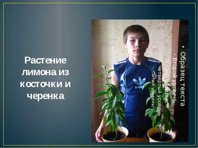 Растение лимона из косточки и черенка