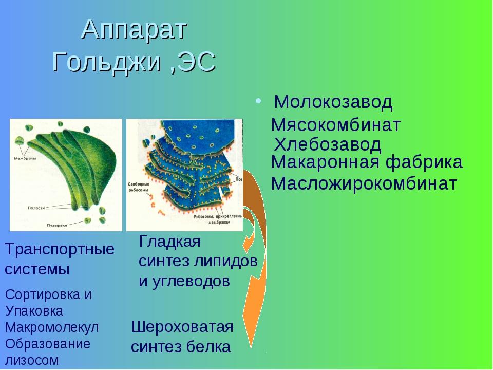 Аппарат Гольджи ,ЭС Молокозавод Транспортные системы Гладкая синтез липидов и...