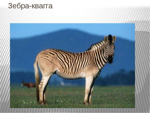 Зебра-квагга