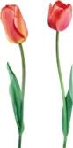 Скачать картинки, фото тюльпаны