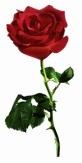 Flowers: Red and burgundy roses Цветы - красные и бордовые розы