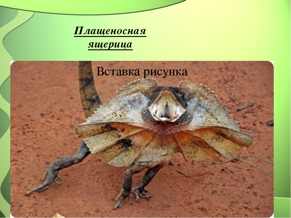 Плащеносная ящерица
