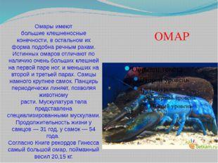 Омары имеют большиеклешненосные конечности, в остальном их форма подобнареч