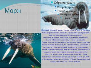 Морж Крупный морской зверь с очень толстой кожей. Верхние клыки чрезвычайно р