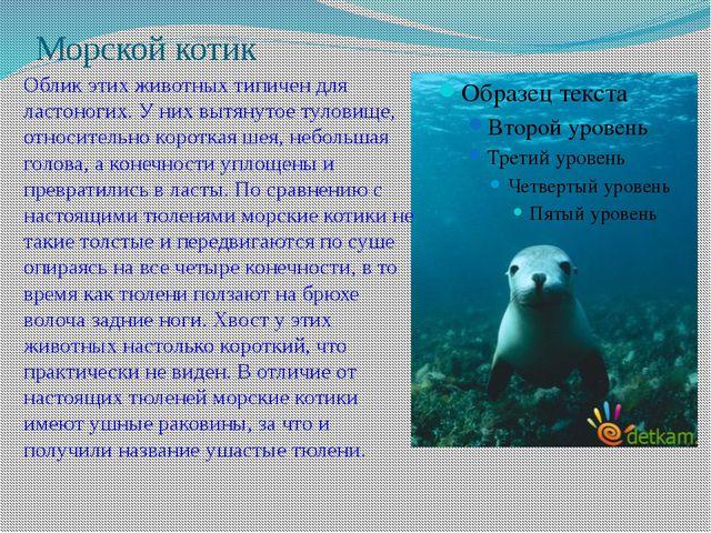 Морской котик Облик этих животных типичен для ластоногих. У них вытянутое тул...